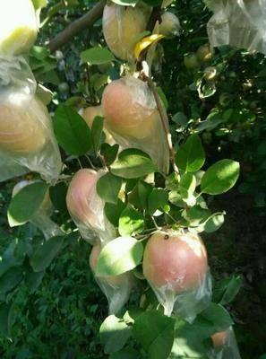 安徽省滁州市定遠縣 自己果園種植蘋果