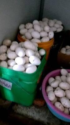 黑龍江省哈爾濱市呼蘭區種鵝蛋 自己家散養三花鵝種蛋,受精率高,比例是1:4,誠信經營