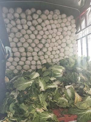 山東省臨沂市蘭陵縣 一級白菜