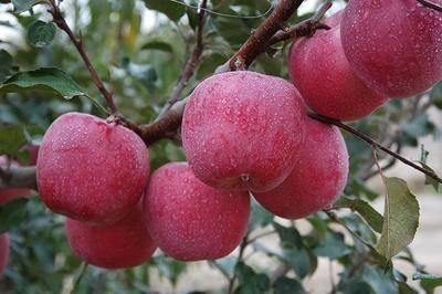 四川省成都市簡陽市 新疆阿克蘇冰糖心【有陽光般香甜味的蘋果】