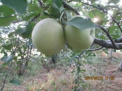 陜西省渭南市富平縣 陜西紅富士蘋果