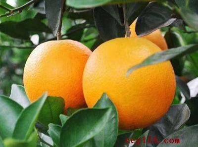 湖北省宜昌市秭歸縣倫晚臍橙 秭歸臍橙倫晚,甘甜水分充足,橙中之皇