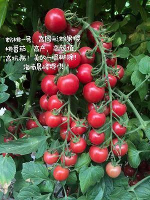 海南省海口市龍華區櫻桃番茄種子 粉紅色圓形櫻桃番茄
