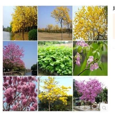 山東省臨沂市臨沭縣 黃花風鈴木種子 紅花風鈴木種子 紫花風鈴木種子