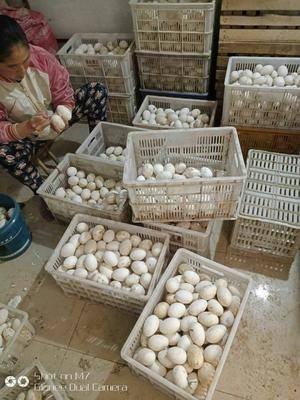 山東省煙臺市萊陽市種鵝蛋 純種五龍鵝種蛋 受精率85%以上