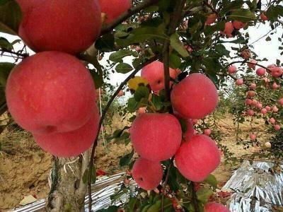 陜西省延安市延長縣紅富士蘋果 正宗洛川紅富士