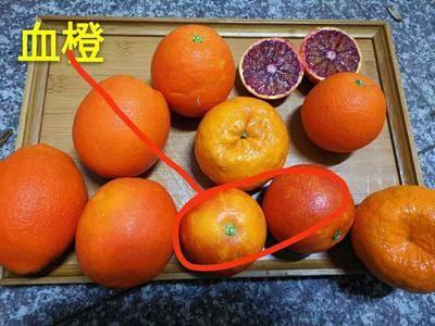 湖北省武漢市東西湖區 血橙子