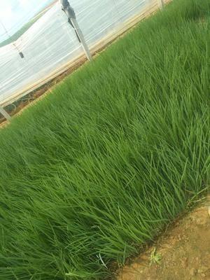 山東省濰坊市坊子區日本鐵桿大蔥種子 日本鐵桿蔥苗,惠合蔥苗,