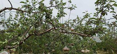 陜西省延安市延長縣 正宗延安洛川紅富士蘋果