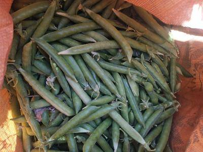 安徽省宿州市蕭縣 大量豌豆莢