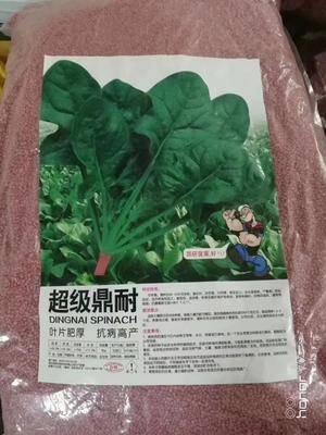 河南省商丘市夏邑縣 耐熱菠菜種子
