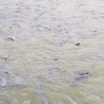水库黑鲩(青鱼)10斤至100斤均有货