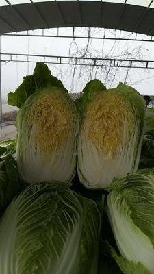山東省濱州市陽信縣黃心大白菜 3~6斤 凈菜