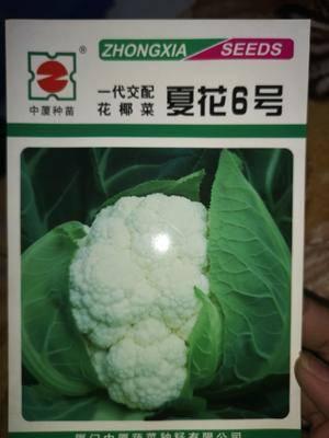 山東省濟南市歷城區白面青梗花菜種子 夏季品種,早熟球白品質好產量高
