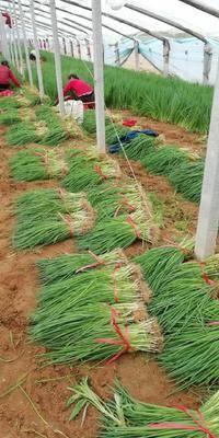 山東省濰坊市坊子區日本鐵桿大蔥種子 日本鐵桿,惠合,各種蔥苗蔥種
