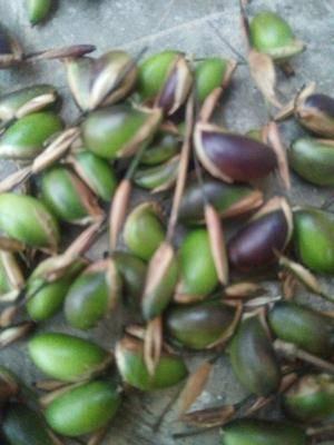 貴州省銅仁市德江縣方竹種子 水竹-種子類