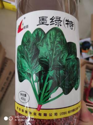 江蘇省宿遷市沭陽縣 綠領墨綠特菠菜種子,中早熟、長勢旺盛、產量高、耐抽苔性強