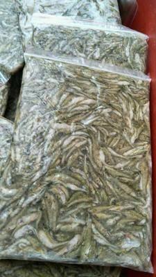 河南省信陽市平橋區冰凍小黃魚 合作共贏歡迎下單