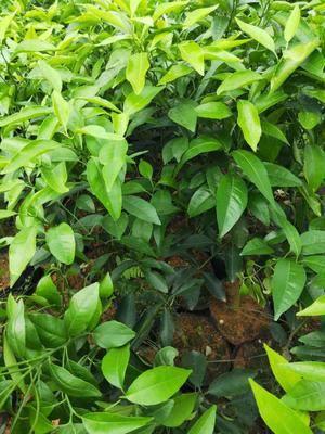 廣西壯族自治區柳州市柳城縣沃柑苗 沃柑杯苗