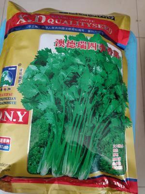 江蘇省宿遷市沭陽縣香菜種子 澳德瑞四季香菜,耐熱、耐寒、耐旱、耐抽苔、生長快、香味濃