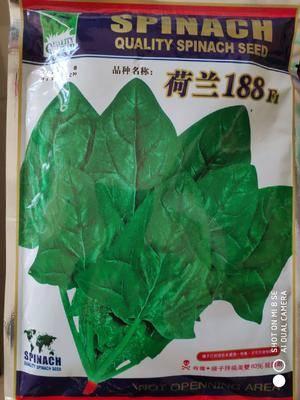 江蘇省宿遷市沭陽縣菠菜種子 荷蘭原種,早熟高產、生長迅速、晚抽苔、適應性廣