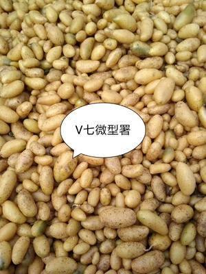 河北省張家口市張北縣華頌七號種 公司的微型薯品種齊全,價格低,有需要的可以聯系我!