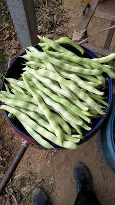 山東省濰坊市高密市無筋四季豆 精品蕓豆大量上市 質優價廉服務好