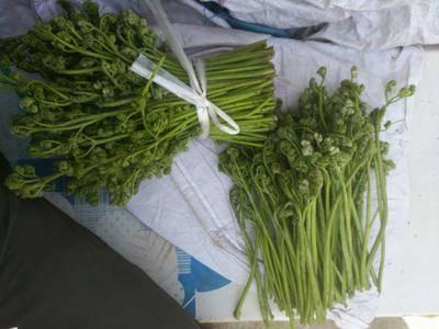 遼寧省丹東市鳳城市 大量出售山野菜蕨菜