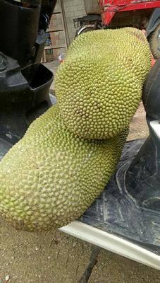 廣東省茂名市電白區荔枝蜜 快要上市啦,菠蘿蜜。