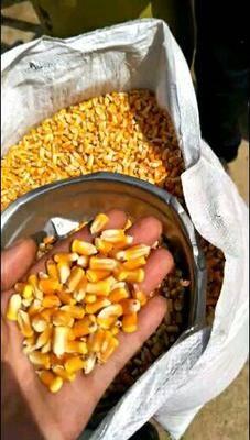 甘肅省平涼市靈臺縣玉米干糧 山地地膜玉米