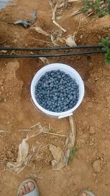 江蘇省連云港市贛榆區藍豐藍莓 綠色食品,原產地現場采摘發貨