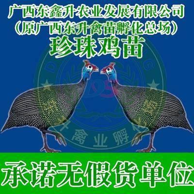 廣西壯族自治區南寧市西鄉塘區 珍珠雞苗