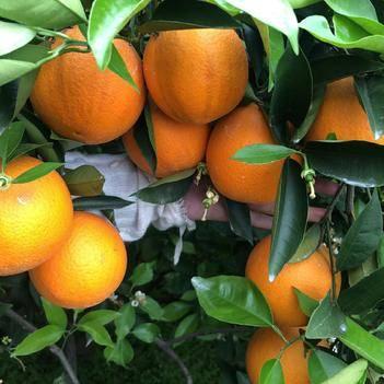 秭归夏橙,一手货源,上等质量,承接平台和微商一件代发