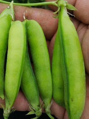 安徽省淮北市濉溪縣 萬畝先豌豆基地。。。歡迎老板來采購
