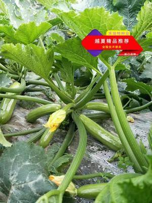 山東省濰坊市壽光市綠皮西葫蘆種子 越夏推薦/豐收1號/500粒裝