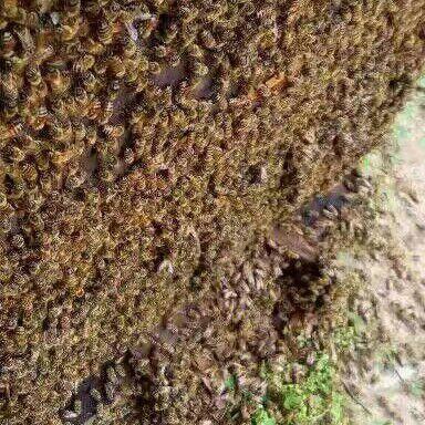 廣西壯族自治區貴港市港北區海南蜜蜂 沒有最好只有更好誠信質量第一買賣第二!