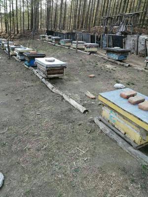 黑龍江省牡丹江市綏芬河市東北黑蜂蜜 純東北黑鋒蜂蜜