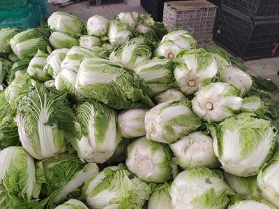 山東省臨沂市蘭陵縣黃心大白菜 3~6斤 毛菜