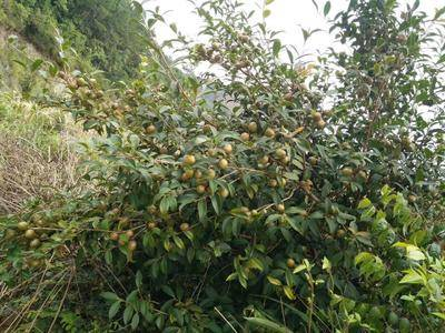 廣西壯族自治區梧州市藤縣油茶苗