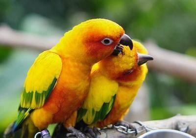 山東省濟寧市任城區金太陽鸚鵡 中型手養鳥預售