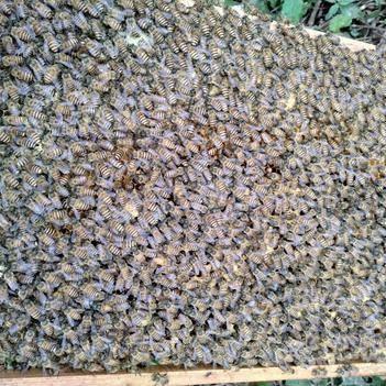 蜜蜂土蜜蜂,精選紅環王蜂種,特點產蛋多繁殖快,連蜂箱連脾發貨