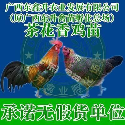 廣西壯族自治區南寧市西鄉塘區 山雞苗_承諾無假貨單位