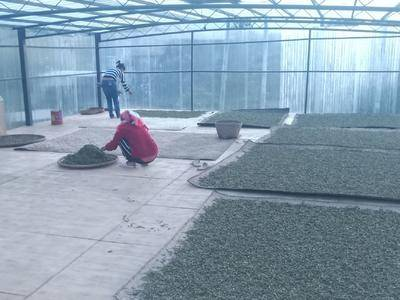 云南省西雙版納傣族自治州景洪市普洱生態茶 一級 散裝
