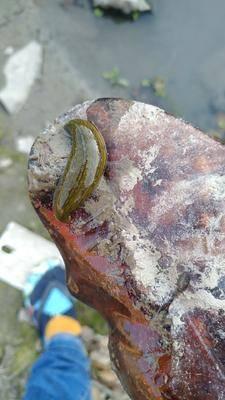 上海奉賢區野生水蛭 全部野生日本醫蛭,有活的,有干品,需要的聯系
