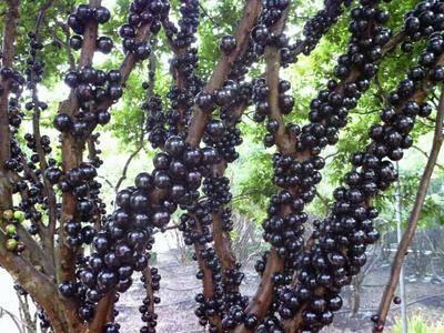 廣西壯族自治區欽州市靈山縣 樹葡萄,嘉寶果。女人吃了可以美容。