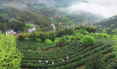 安徽省黃山市屯溪區 品質有保證,黃山高山綠茶,色美味鮮價優