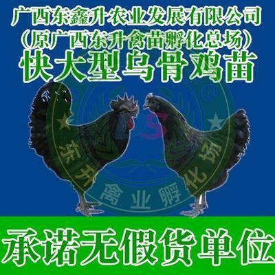 廣西壯族自治區南寧市西鄉塘區 黑鳳雞苗——承諾無假貨單位