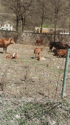 四川省成都市金堂縣 犏牛,牛犢西門塔爾,夏洛萊,利木贊,魯西黃牛,牛苗小牛犢牛