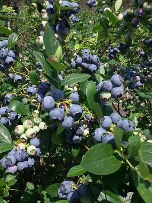 湖南省長沙市長沙縣 藍莓鮮果