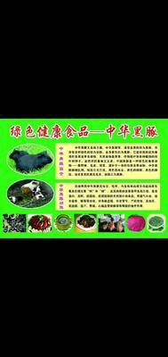 廣東省清遠市連州市生態黑豚鼠 返鄉創業首選~中華黑豚
